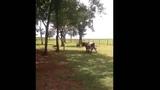 Баран против коровы! Кто победит в поединке Прикол юмор ржач смешное видео