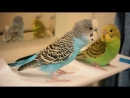 Budgie and his clone ¦ Vlog 5 Cookie u0026 Biscuit