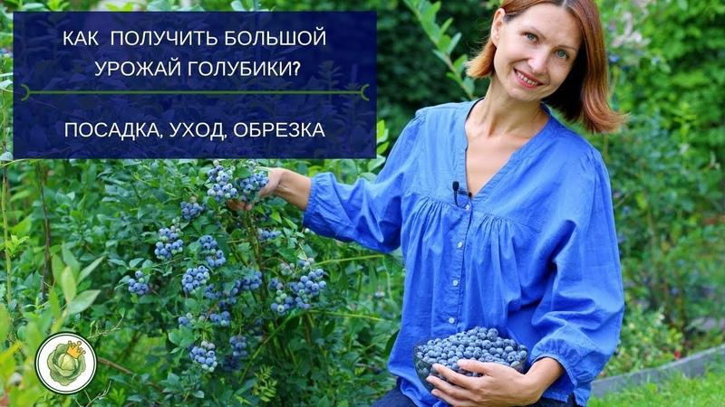 Все секреты выращивания голубики садовой Мой опыт и практические советы Blueberry