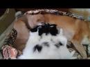Саюри сиба ину кормит щенков папийонов