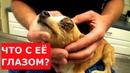 Собаке удалили глаз Спасли жизнь щенка Ветеринарное ранчо