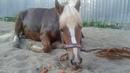 Лошадь забыла, зачем легла