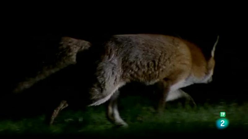 Grandes documentales - Pequeños predadores. Zorros, linces y gatos montés