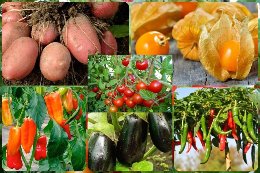 Паслёновые овощные культуры