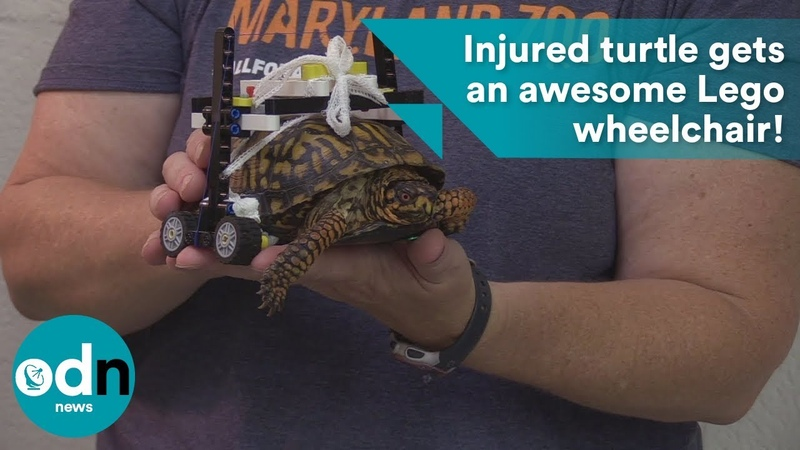 Injured turtle gets an awesome Lego wheelchair!