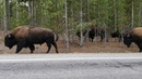 Buffalo Crossing || ViralHog