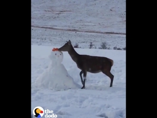 This little deer came across a snowman — and decided he was delicious.