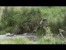 Маленький нильский крокодил атаковал гепарда