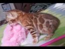Рыжая кошечка и голубой котик