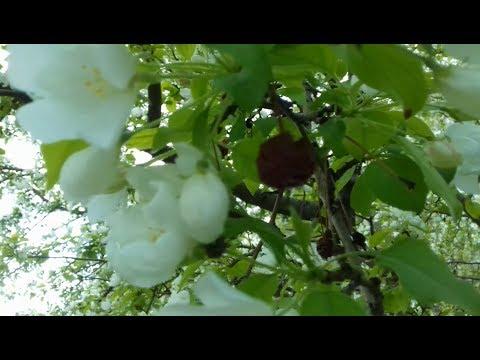 Зацвели дикие яблони, а на них ещё висят прошлогодние яблочки.
