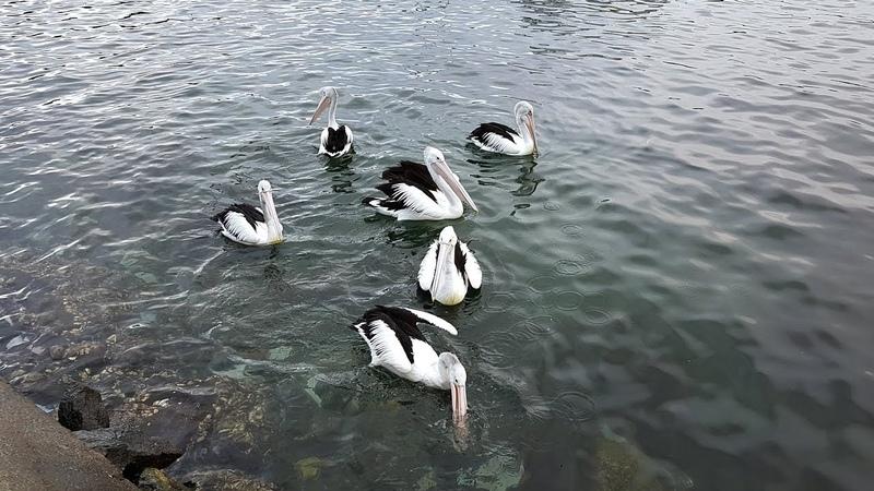Pelicans - Eden, NSW