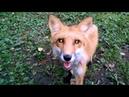 Лиса (Патрикеевна) гуляет на собачей площадке