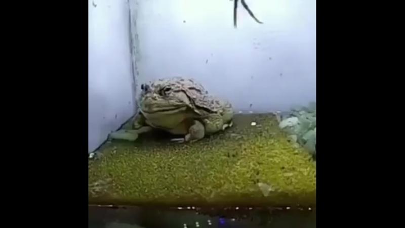 Ненасытный жаб