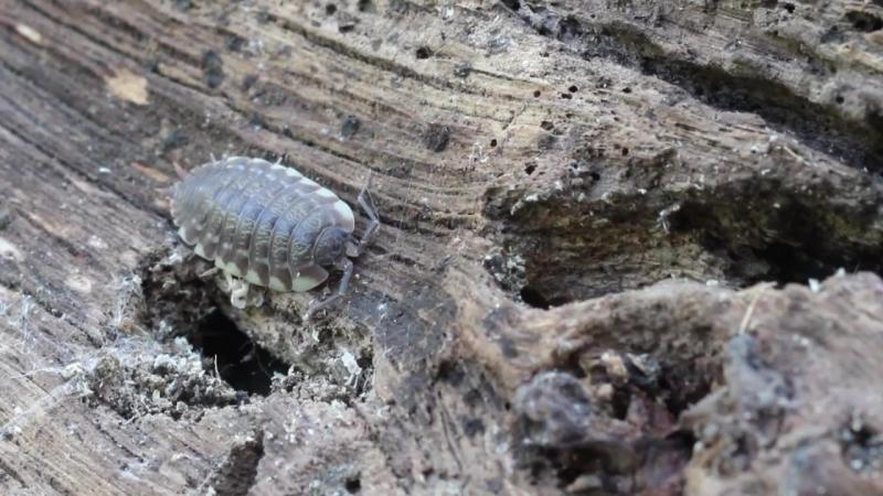 Жизнь в бревне , мокрицы (oniscidea)