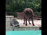 Енот и пёс в бассейне