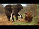 코끼리와 라이온 스 간의 전쟁 믿을 수없는 동물 미친 장면이 카메라에 포착 2