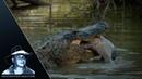 Американский аллигатор ест рыбу