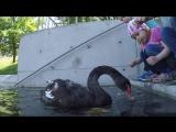 Черные лебеди,Черное Озеро