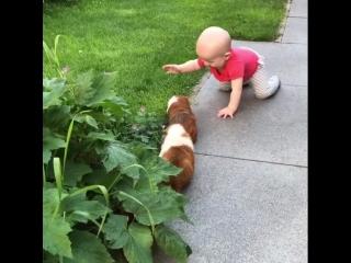 Морские свинки и малыш