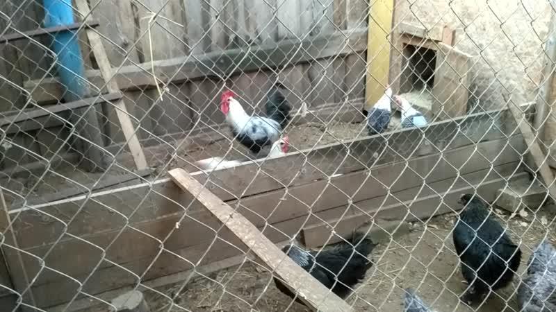 Мои Брекель серебристый и пососедству молодки МАРАН черные с серебристой гривой и голубые с серебристой гривой Петушки пока отд