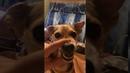 Бешеный пёс Ля ля аля ля ля аааа ляяя