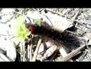 Весенняя гусеница в мохнатой шубке кушает листик.