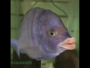 Karp Kardashian lips video camera @aquamike23 Placidochromis Phenochilus Mdoka White Lip 640 X 640 mp4