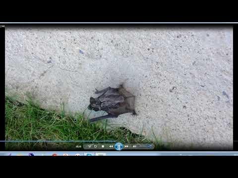 Детеныш летучей мыши