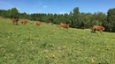 Scottish Highland Cattle In Finland: tiny calves running on a sunny summer day