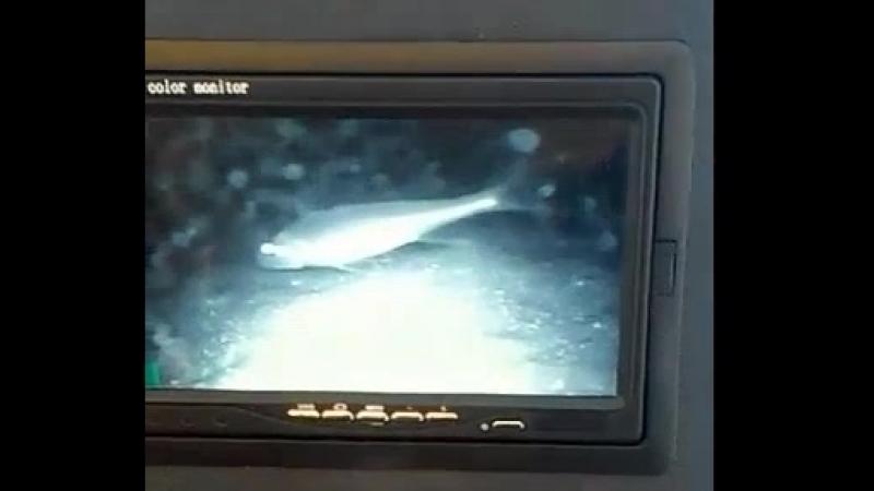 Ещё видеосъёмка со дна Чудского озера