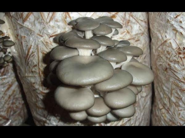 Домашняя грибница ВЕШЕНКИ! Купить мицелий вешенки