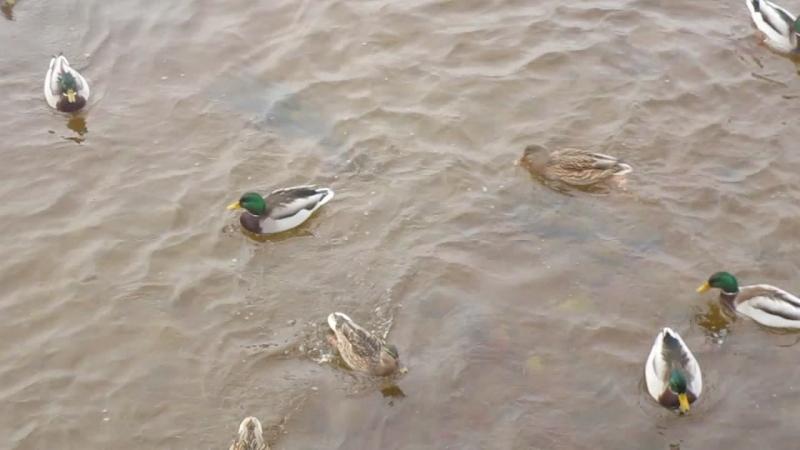 Питерские утки отказались лететь на юг. Кучкуясь всю зиму держатся вместе.