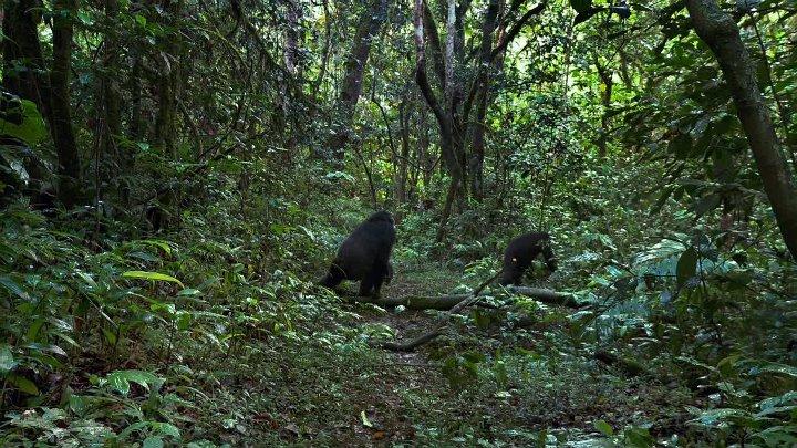 Шимпанзе Chimpanzee 2012 ДБ BDRip 1080p Killbrain