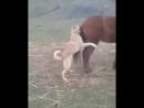 Собака и лошадь Тыва