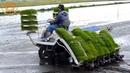Как выращивают рис в Японии
