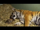 Birth of Twin Tiger Cubs _ Tigers About The House _ BBC