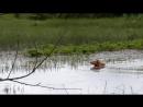 Рыжий Охотник Урай-Патриот (Шмель х Лада) и чирок