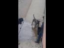 Питбуль подрался с бездомной собакой