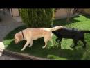 Скоро щенки Ритуал ухаживания лабрадоров Soon the puppies Marriage rite of Labradors