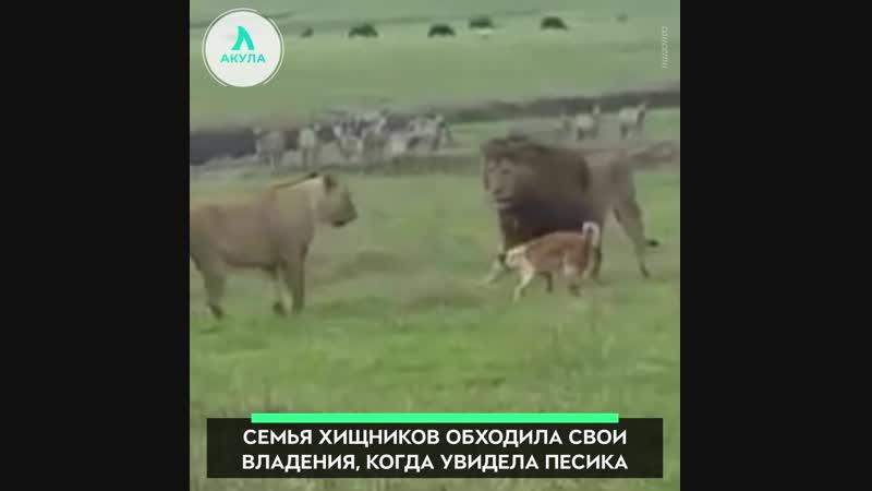 Дерзкий пёс АКУЛА