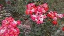 Питомник Роз Полины Козловой бордюрные розы