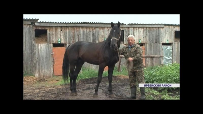 Коневод Ирбейского района открыл ферму племенных рысаков