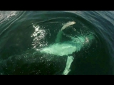 Встреча с детенышем горбатого кита. Залив Самана, Атлантический океан.