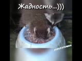 Жадный енот