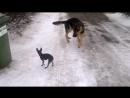 Тойка нападает на овчарку
