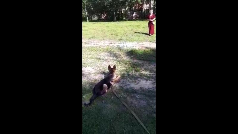 А этого талантливого щенка зовут Зевс ему 3,5 мес. 3 занятие🐶
