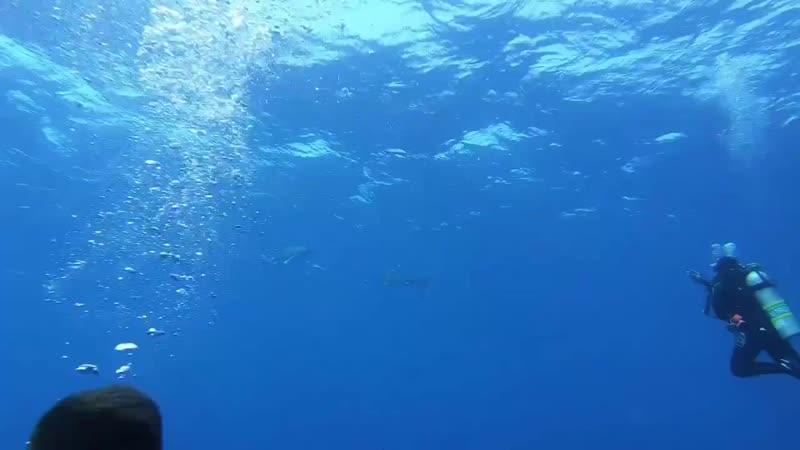Elphinstone today, Silkshark, Longimanus... - Coraya Divers Red Sea.mp4