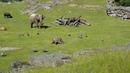 Маленький слоненок ганяет уток