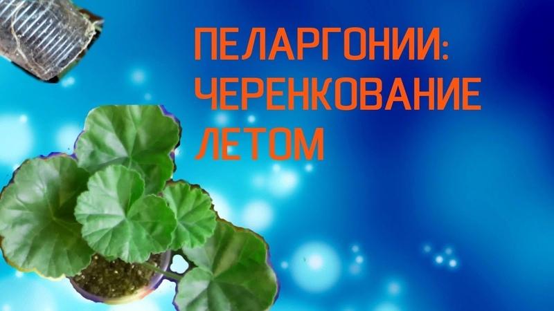 Пеларгония: черенкование летом
