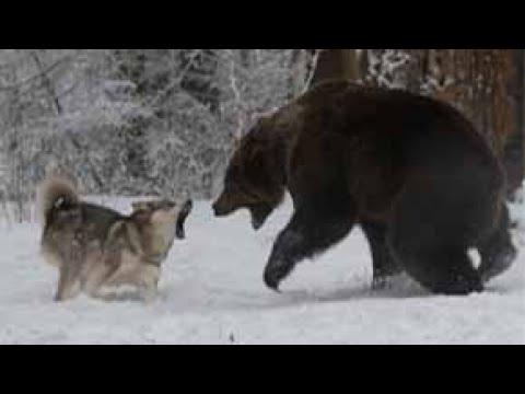 Волк против медведя. Документальный фильм HD (2018) » Freewka.com - Смотреть онлайн в хорощем качестве